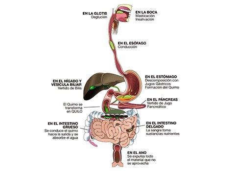 Cómo funciona el sistema digestivo