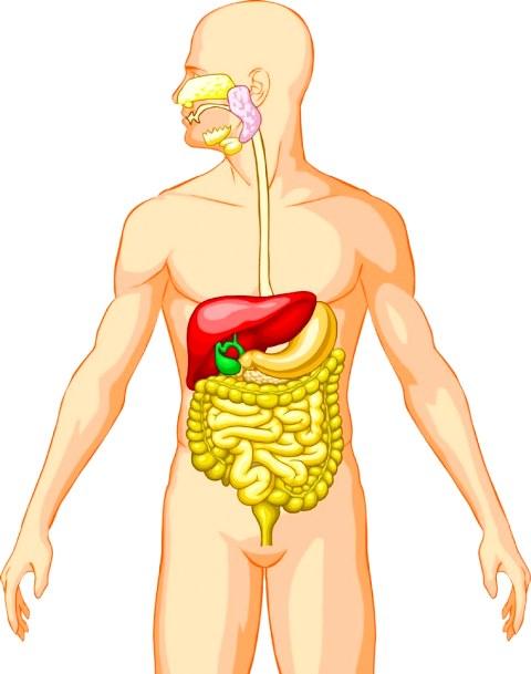 Dónde se encuentra el sistema digestivo - Sistema digestivo