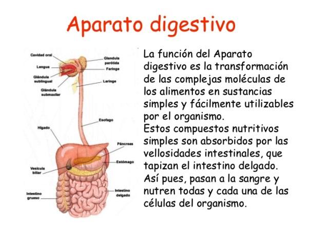 Cuál es la función del sistema digestivo