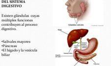 Glándulas anexas del sistema digestivo
