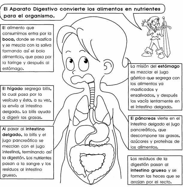 Imágenes del sistema digestivo órganos funciones
