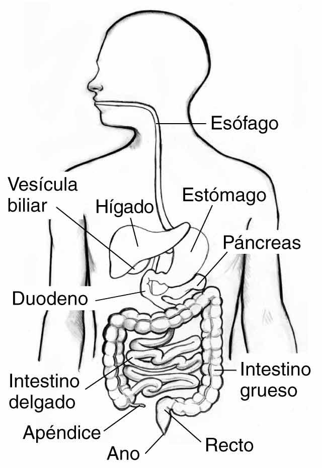 Imágenes del sistema digestivo para colorear