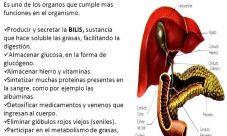 ¿Qué función cumple el hígado en el sistema digestivo?