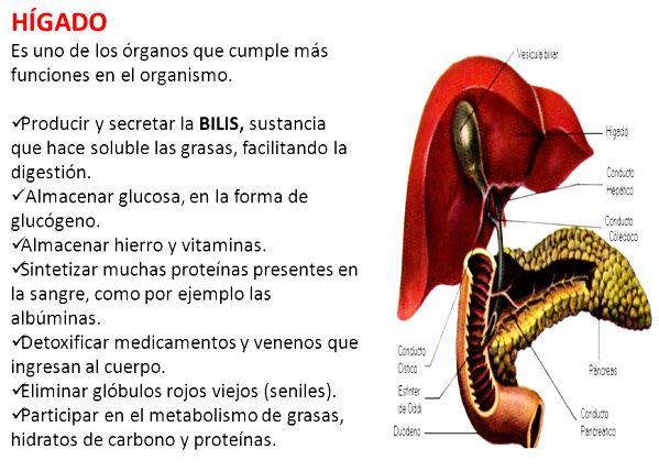 Qué función cumple el hígado en el sistema digestivo? - Sistema ...
