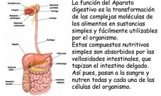 Importancia del sistema digestivo