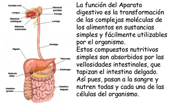 Importancia del sistema digestivo - Sistema digestivo