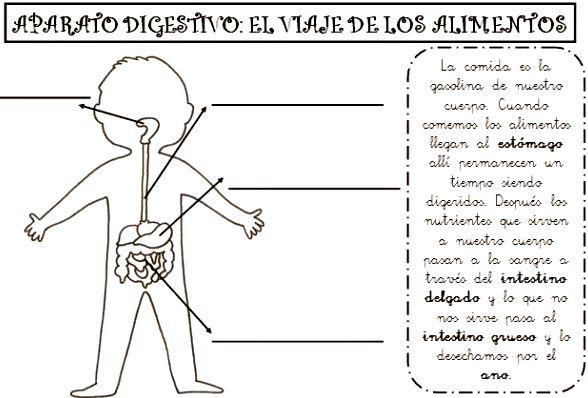 Sistema digestivo para niños