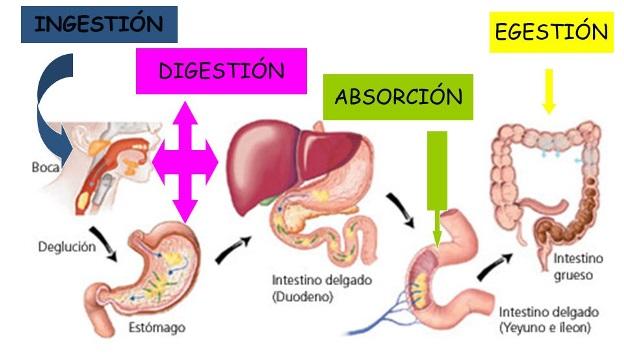 Fisiología de la digestión