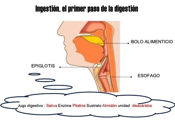 ¿Cuál es el primer paso de la digestión?