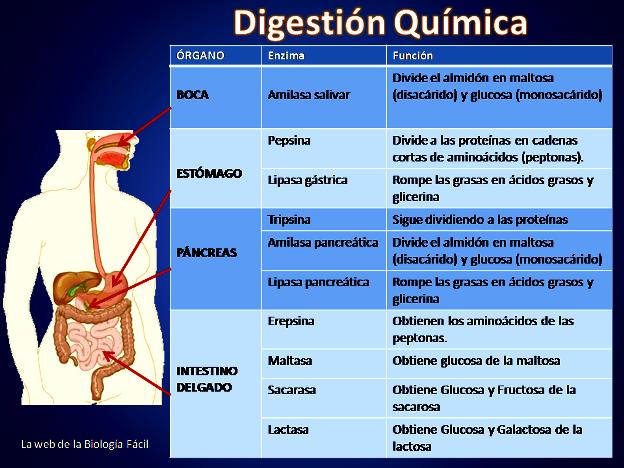 Reacción química de la digestión